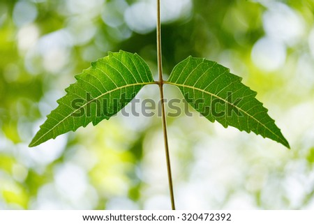 Neem leaves-Azadirachta indica,medicinal plant - stock photo
