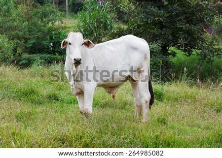 Nellore - brazilian beef cattle in field near trees, white bull. Selective focus - stock photo