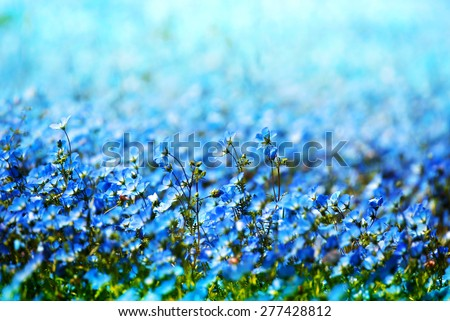 Nemophila, or baby blue eyes (Nemophila menziesii, California bluebell), in soft light and shadow. Focus is on center flower. Extremely shallow depth of field. - stock photo