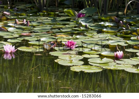 nenupha flowers on the surface of pond - stock photo