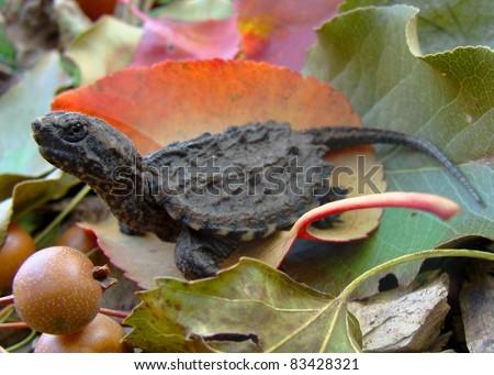 Neonate (newborn) Common Snapping Turtle, Cheldyra serpentina, with egg tooth still present - stock photo