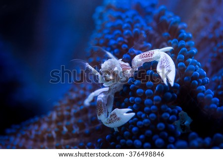 Neopetrolisthes ohshimai is a porcelain anemone crab that can be found in a blue short anemone polyps, feeding the Plakton that is in suspension in the water