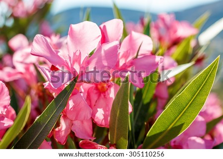 Nerium oleander bush and flowers in Greece - stock photo