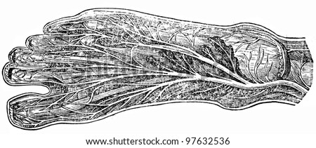 nerves of the foot - an illustration of the encyclopedia publishers Education, St. Petersburg, Russian Empire, 1896 - stock photo