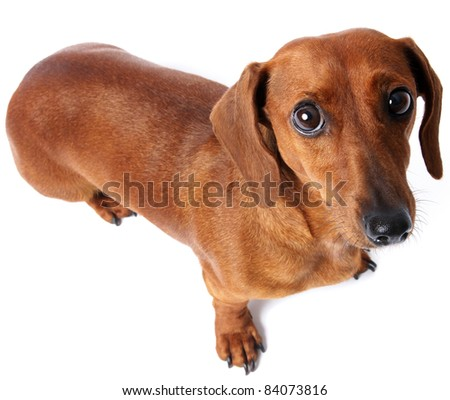 Nervous dachshund. - stock photo