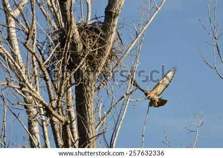 Nest Building Time for the Red-Tail Hawk - stock photo