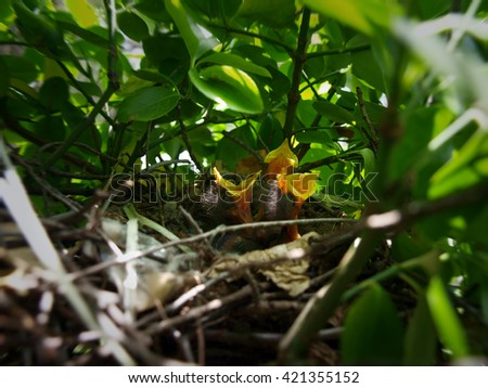 nest full of hungry baby Mockingbirds that are ready to eat. copy space included - stock photo