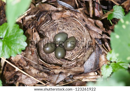 Nest of a bird with eggs in the nature. Luscinia luscinia, Thrush Nightingale. - stock photo