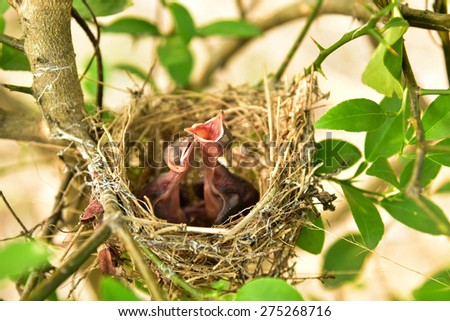 Nest of birds with small babies. - stock photo