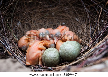 Nest of Magpie, Pica pica. Wild bird in a natural habitat. Wildlife Photography.