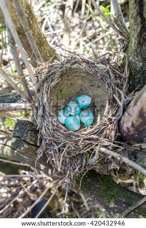 Nest of song thrush is made from clay and pale blue eggs, vertical