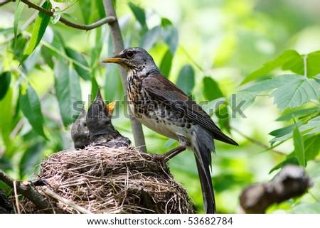 Nest of the fieldfare (Turdus pilaris) with nestling. - stock photo