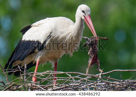 Nest of white storks Family in which they were born four young. Stork's mum is firing the hare caught on field from the nest, of which young could not still swallow down - stock photo