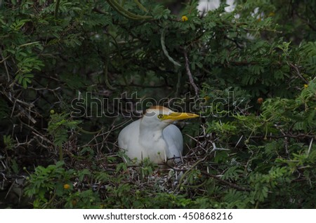 Nesting Cattle Egret (Bubulcus ibis) - stock photo