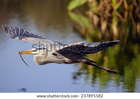 Nesting Great Blue Heron in Flight A Great Blue Heron returns to his nest being built for an upcoming mating ritual. - stock photo