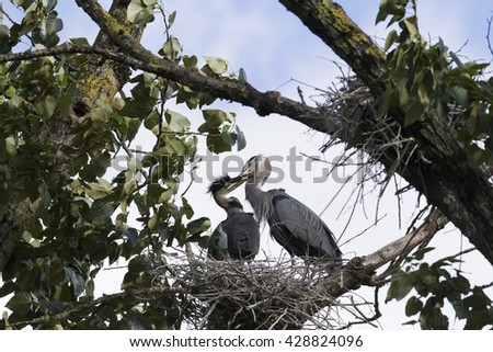 Nesting Heron feeding baby heron - stock photo