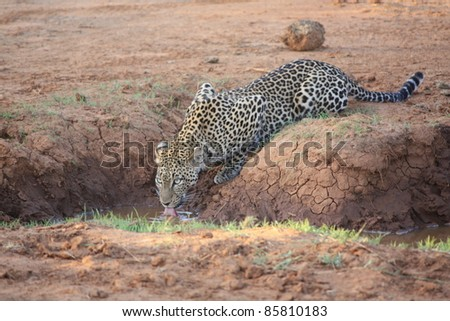 Nestled in the trees, the African Leopard finally came down from his hiding spot in search for a watering hole to quench his thirst.  As fast as he appeared, he disappeared back into the brushes. - stock photo