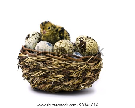 Nestling quail and basket with eggs isolated on white background
