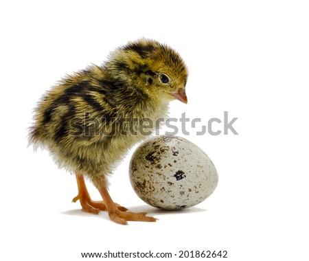 Nestling quail is waiting for sibling - stock photo
