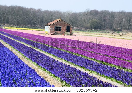 NETHERLANDS - APRIL9: agrotourism hyacinth field on April 9,2015 at Lisse NERTHERLANDS