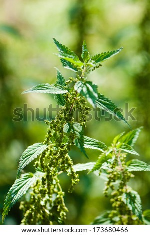 Nettle, close up - stock photo
