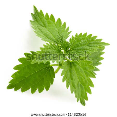 Nettle leaf. Green nettle herb isolated on the white background.