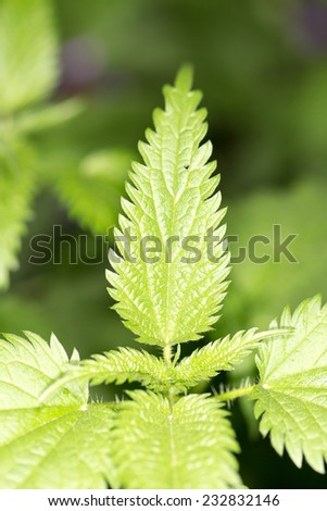 nettle leaves in nature