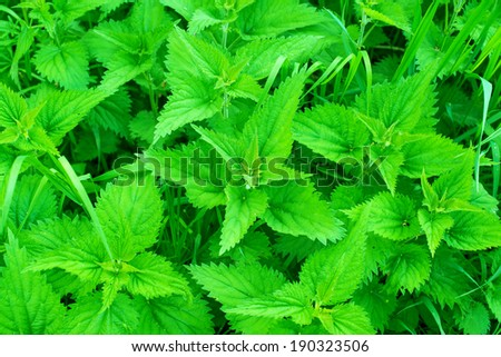 nettles growing in the meadow - stock photo