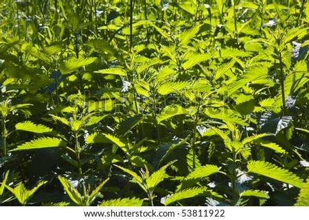 nettles in meadow - stock photo