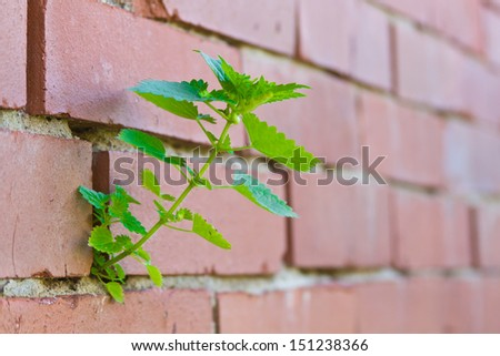 nettles sprout into a brick wall - stock photo