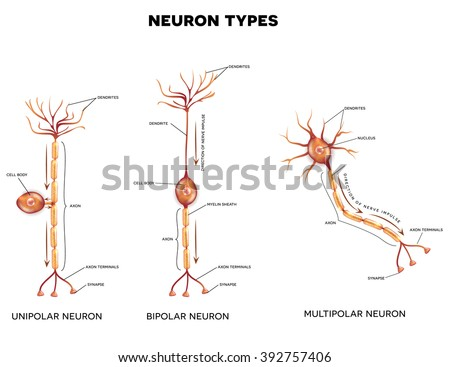Neuron types, cells that is the main part of the nervous system.  - stock photo