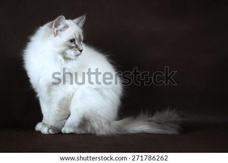 Neva masquerade kitten on dark brown background. - stock photo