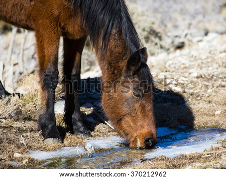 Nevada Wild Horse drinking water from a creek - stock photo