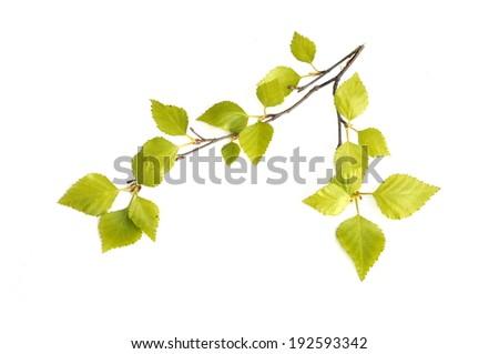 New birch tree foliage on white background - stock photo