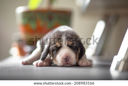 New born beagle puppy - stock photo