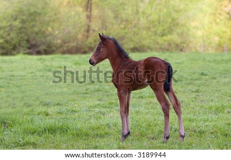 new born colt at local ranch - stock photo
