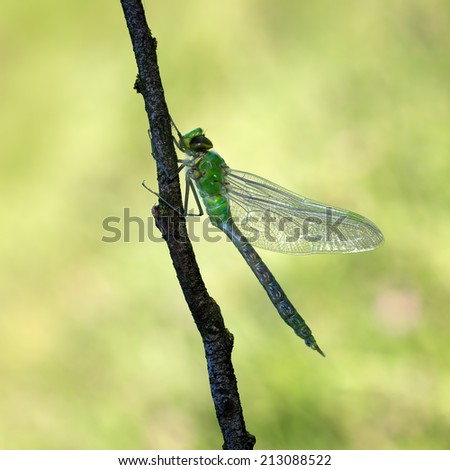 New born emperor dragonfly (Anax imperator) - stock photo