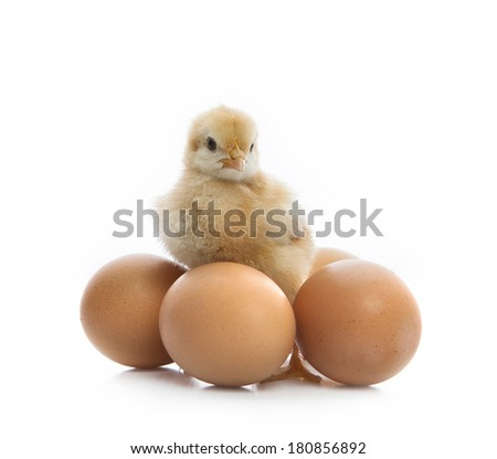 new born yellow chick standing beside eggs and  looking to camera isolated white background use for multipurpose animals kid lovely cute  - stock photo