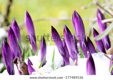 New buds of crocus are attacked by snow (manual focus) - stock photo