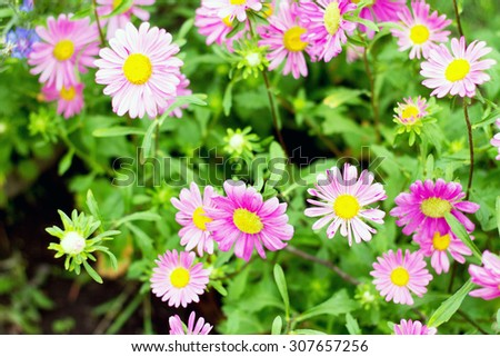 New England Aster flower blooming in the garden, selective focus - stock photo