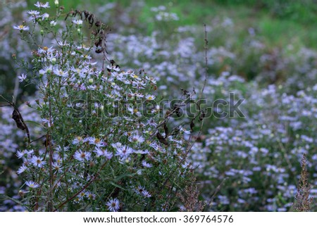 New England aster in the morning field