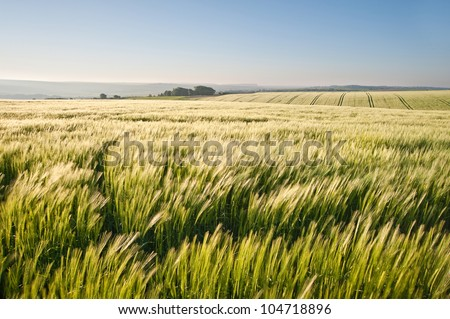 New field of wheat in countryside rural landscape - stock photo