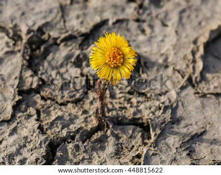 new flower (coltsfoot) on cracked dried soil
