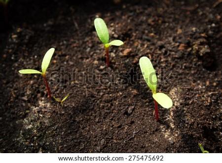 New flower seedlings growing in black soil - stock photo