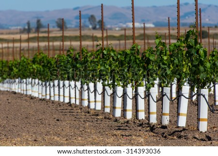 New grape vines grow in rows with hill of more vines in background - stock photo