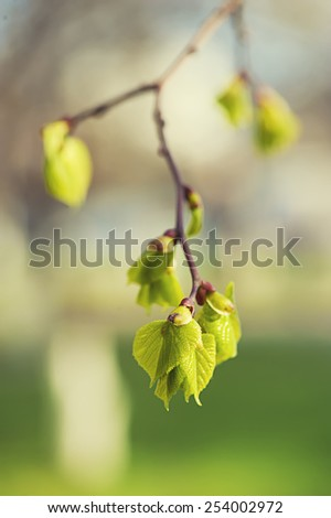 New green birch leaves at spring time - stock photo