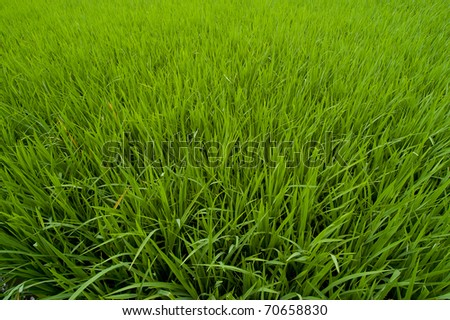 New growth in a green paddy field in Bali - stock photo