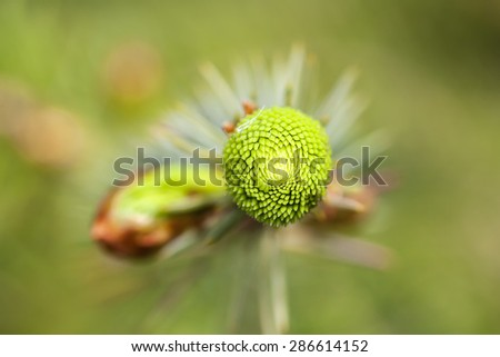 New growth - Spruce - stock photo