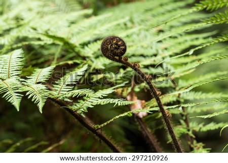 new leaf of New Zealand silver fern - stock photo