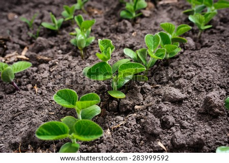 New leaves of soybean growing on soil, selective focus